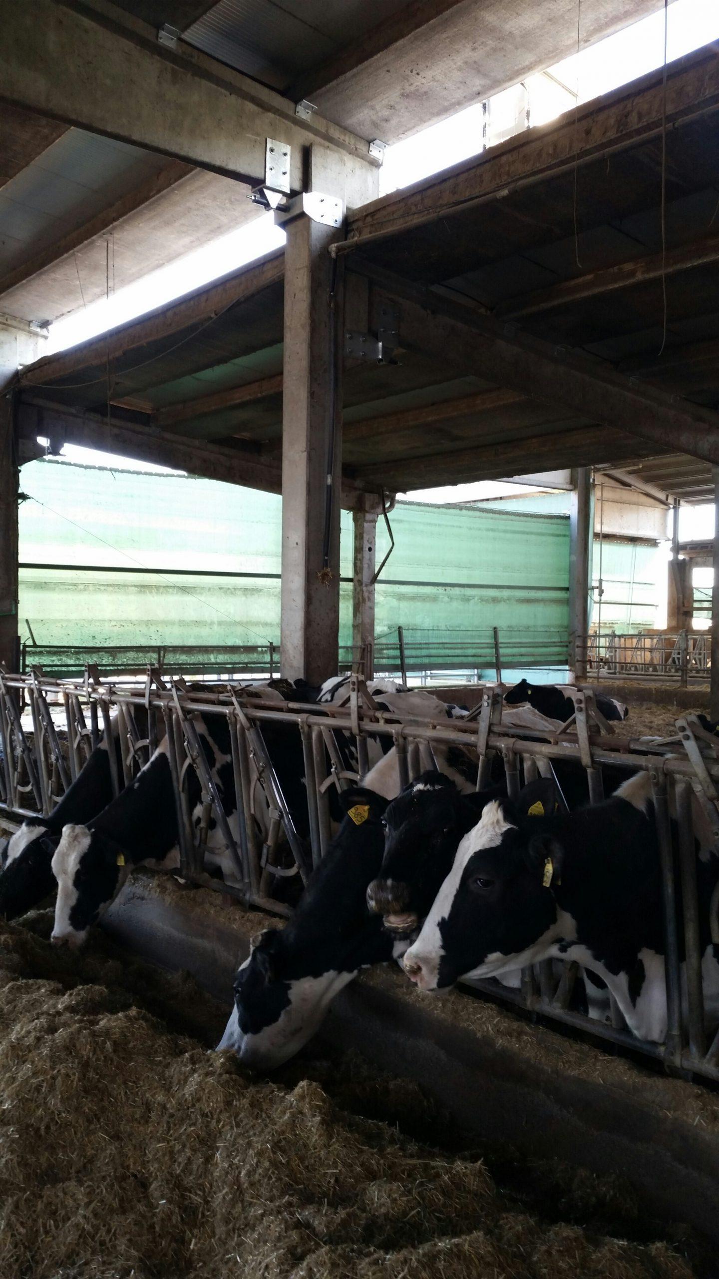 Complesso agricolo Reggio-Emilia - mucche